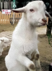 Goats are extremely intelligent creatures, capable of manipulating small gadgets and tools.